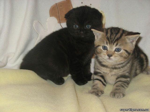 Вислоухие черные коты