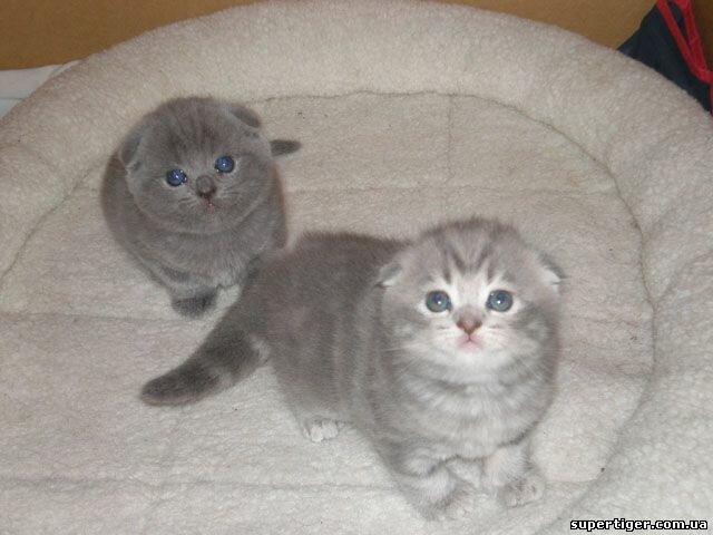 Шотландский вислоухий мраморный кот